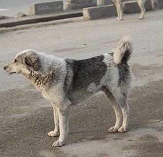 گزارشگر:  جولان سگ هاي ولگرد در شهر كنگان